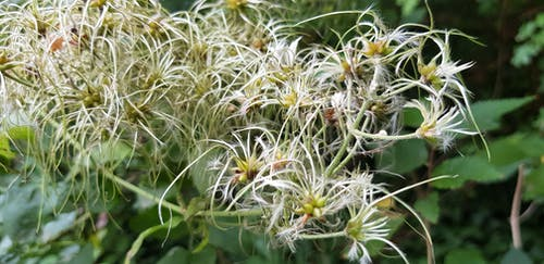 Free stock photo of Bloomed out, clematis, fluffy