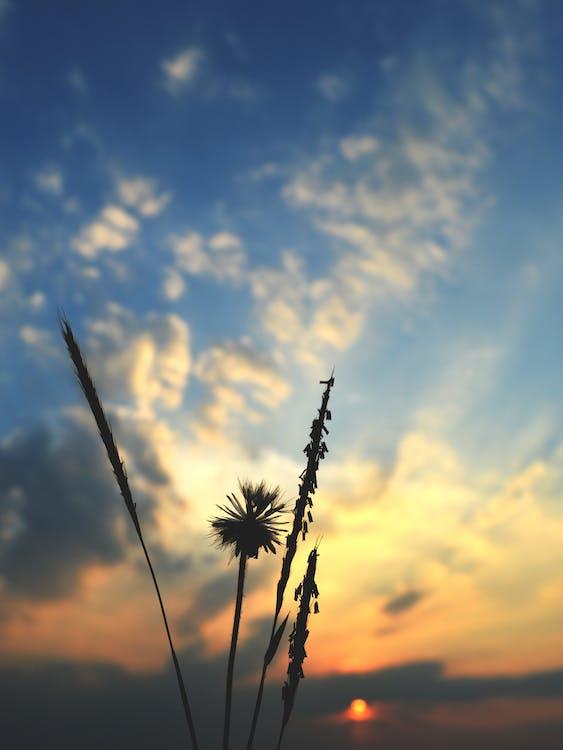 Free stock photo of dandelion, evening sky, flower silhouette