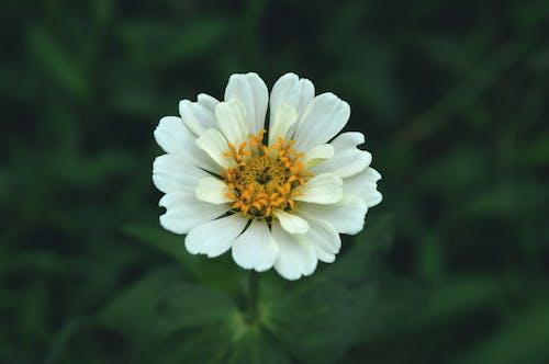 Free stock photo of beautiful flower, chrysanthemum, pretty flower