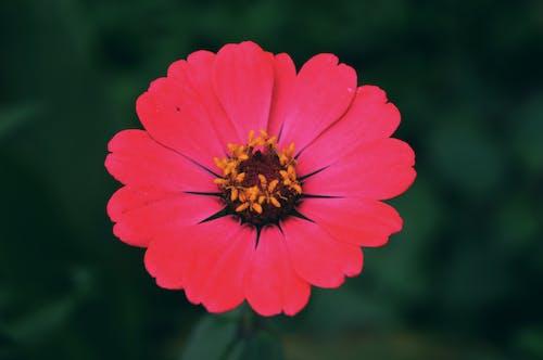 Free stock photo of beauty in nature, chrysanthemum, nature wallpaper