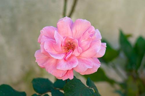 çevre, Çiçek açmak, doğada güzellik, gül goncası içeren Ücretsiz stok fotoğraf