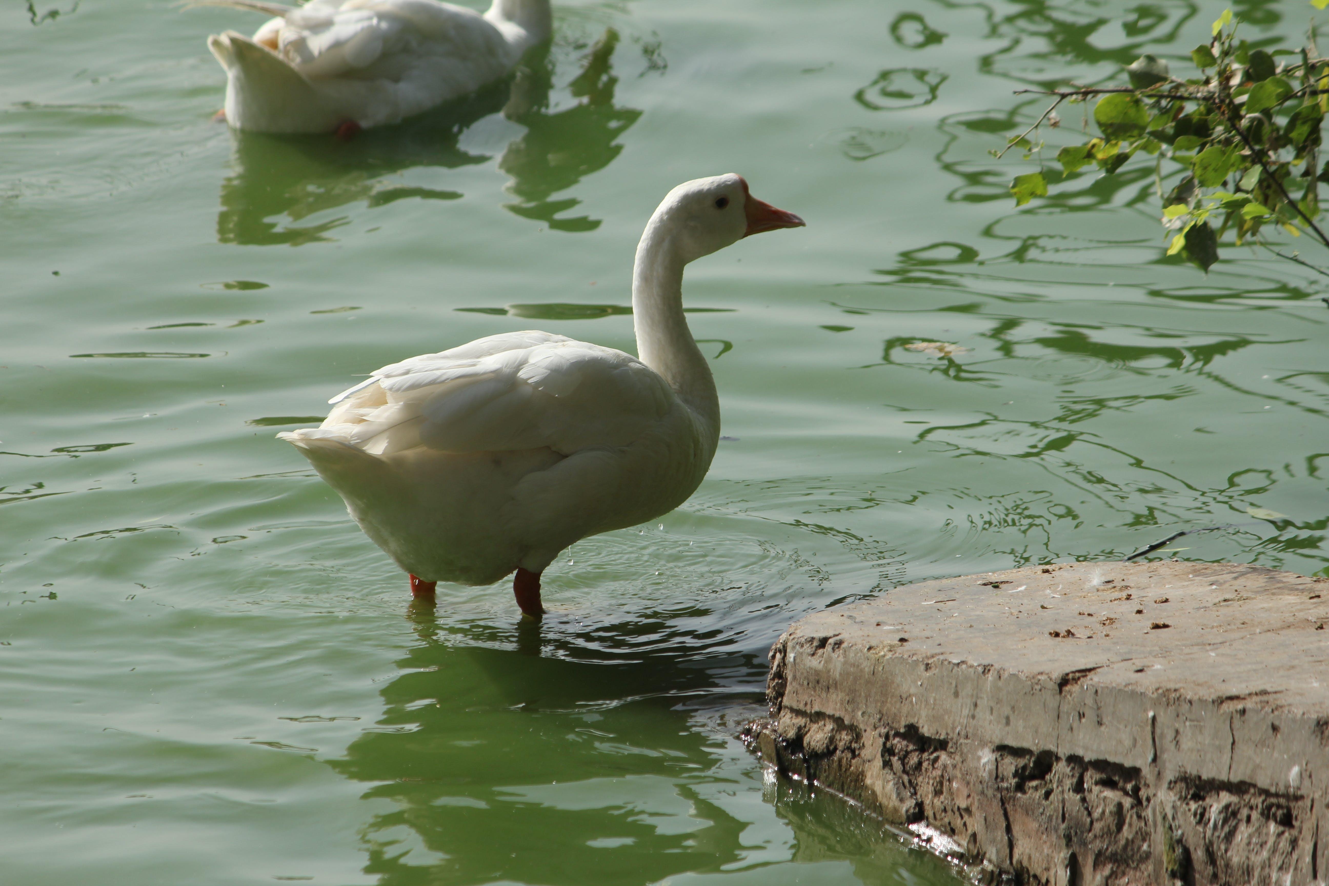 Free stock photo of background image, bird, ducks, ground