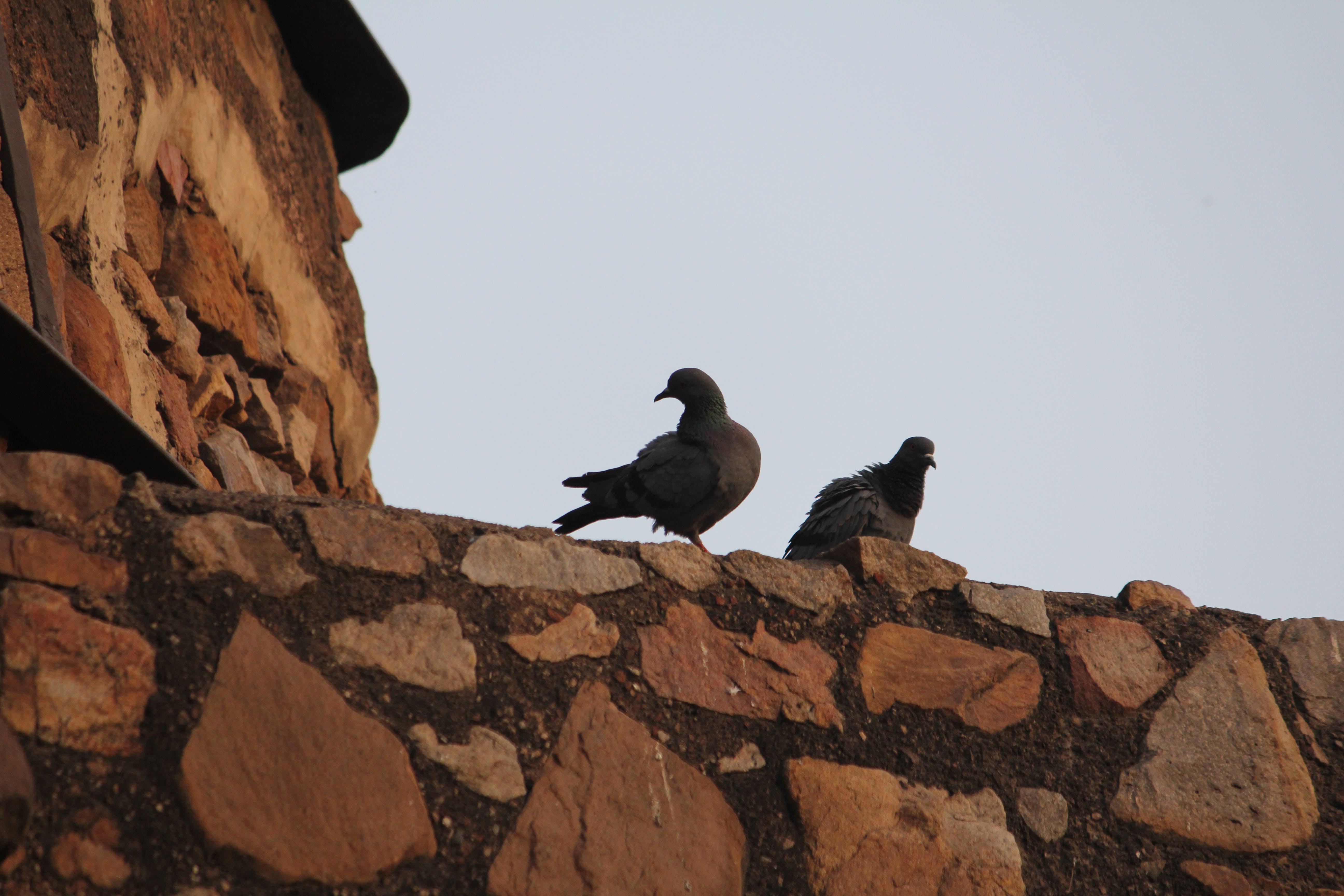 Free stock photo of background image, birds, monument, pigeon