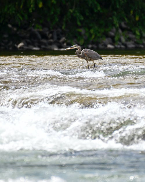 açık hava, akan, balık, balıkçıl içeren Ücretsiz stok fotoğraf