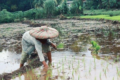 传统农民, 印尼, 水稻梯田, 白米 的 免费素材照片