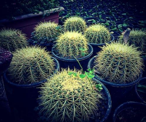とげとげしい, エキゾチック, サボテン, サボテンの植物の無料の写真素材