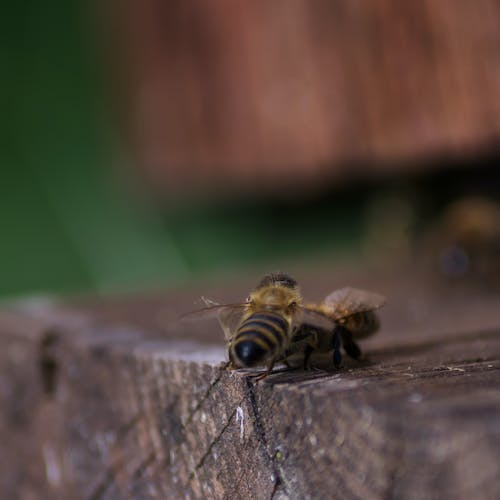 Free stock photo of bee, beekeeping, bees, close up