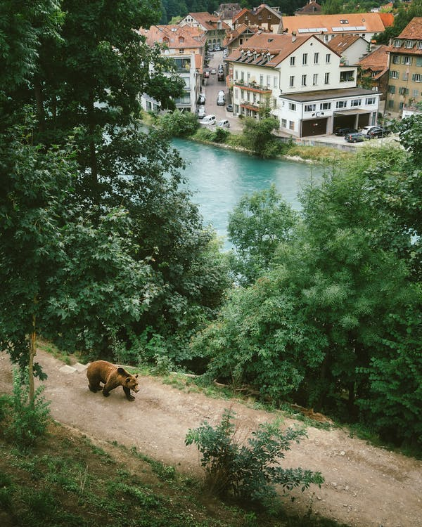 Grizzly Bear Beside River and Trees