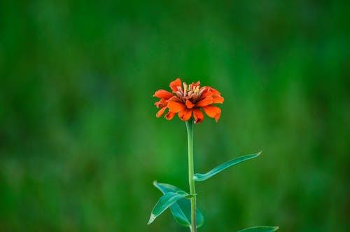 Gratis lagerfoto af blomster, bokeh, redflower, smuk blomst