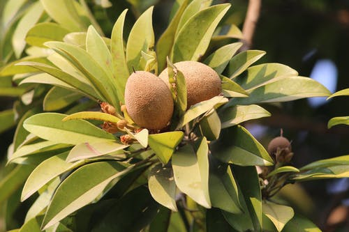 Free stock photo of Chiku, fruit, sapodilla