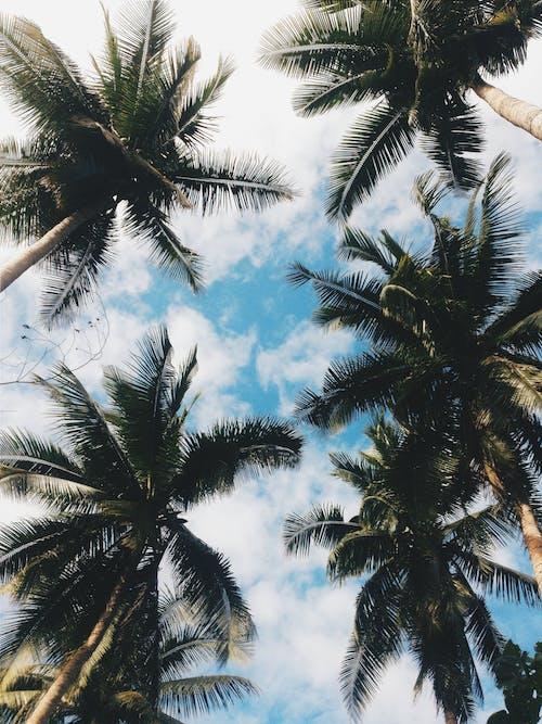 Základová fotografie zdarma na téma cestování, fotografie znízkého úhlu, kokosové palmy, léto