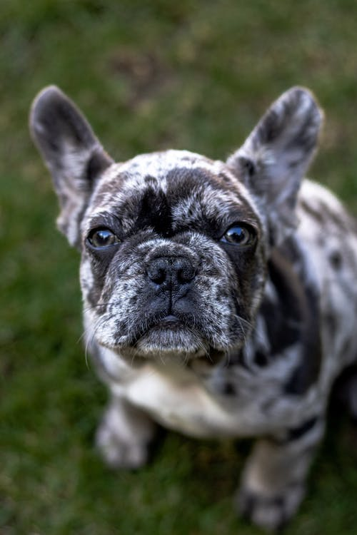 Free stock photo of animal, animal portrait, bulldog, dog