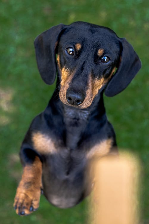 Free stock photo of animal, animal portrait, dachshund, dog
