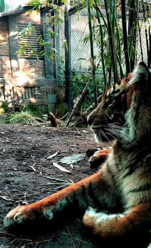 孟加拉虎 的 免費圖庫相片