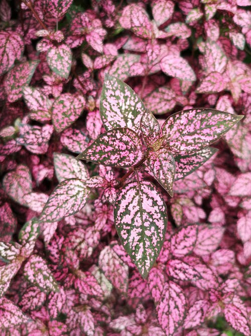 Pink and Green Leaves Plant