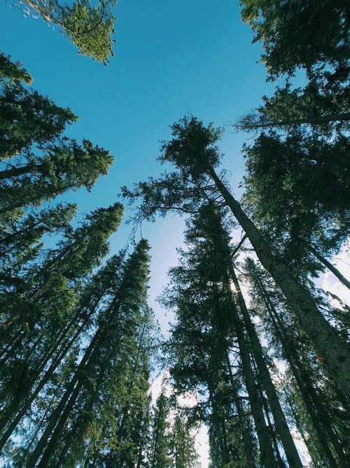 Worm's-eye View of Tall Trees