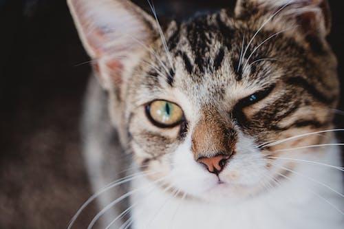 Photos gratuites de à fourrure, animal, animal domestique, chat