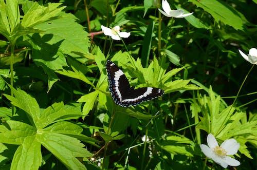 Бесплатное стоковое фото с бабочка, бабочка на цветке, бабочки, зеленые листья