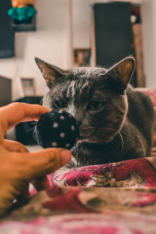chartreux, fofo, gato