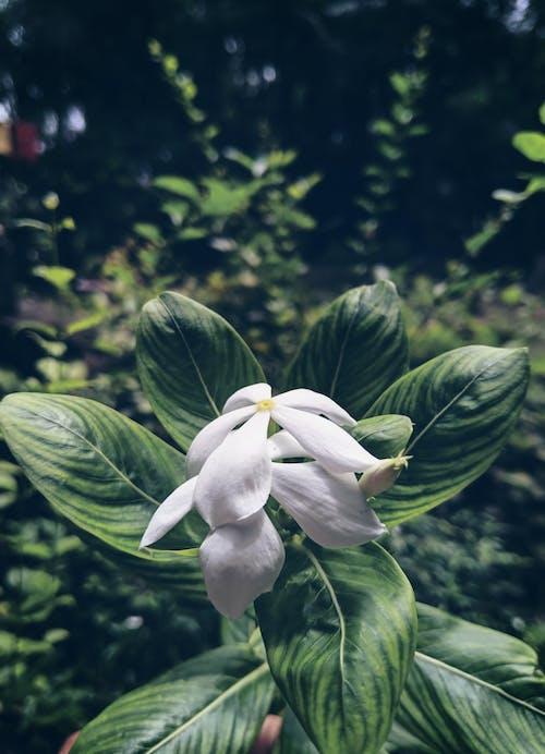 Gratis lagerfoto af blomst, hvid blomst