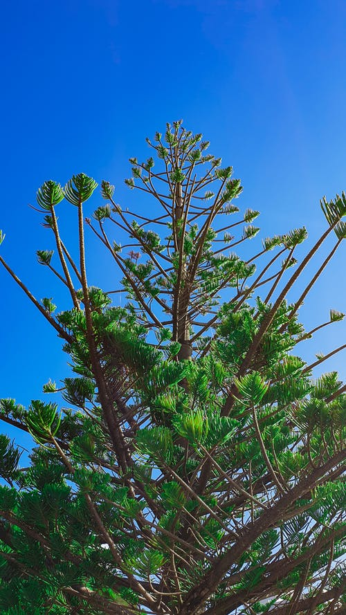 Free stock photo of Araucaria, blue sky, branches