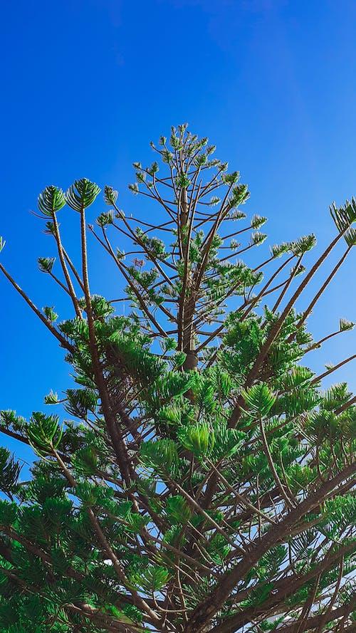 คลังภาพถ่ายฟรี ของ araucaria, ก้าน, การถ่ายภาพมุมต่ำ, กิ่งไม้