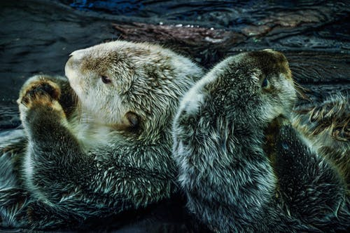 Free stock photo of animals, cute, fur, otters