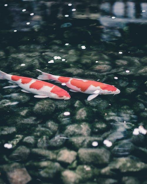 Fotobanka sbezplatnými fotkami na tému koi ryby
