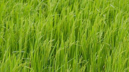 Foto d'estoc gratuïta de arròs, camp, collita, natura