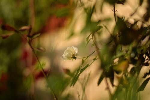 Free stock photo of 50mm, flower, roses