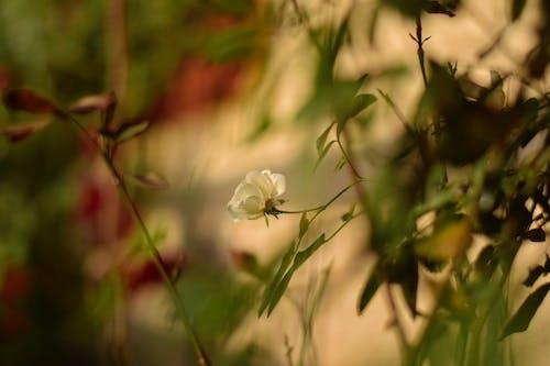 Fotos de stock gratuitas de 50 mm, desenfoque radial, flor, rosas
