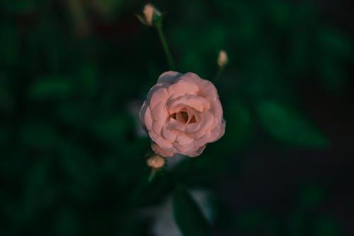 Fotos de stock gratuitas de de arriba hacia abajo, fondo de pantalla, Rosa, Rosa blanca