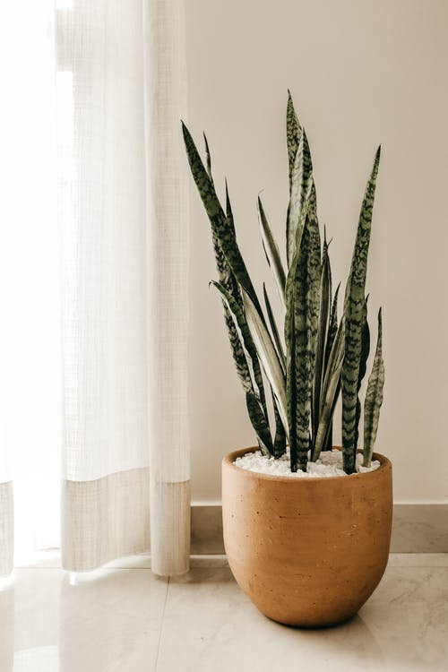 Snake plant (mother-in-laws-tongue)