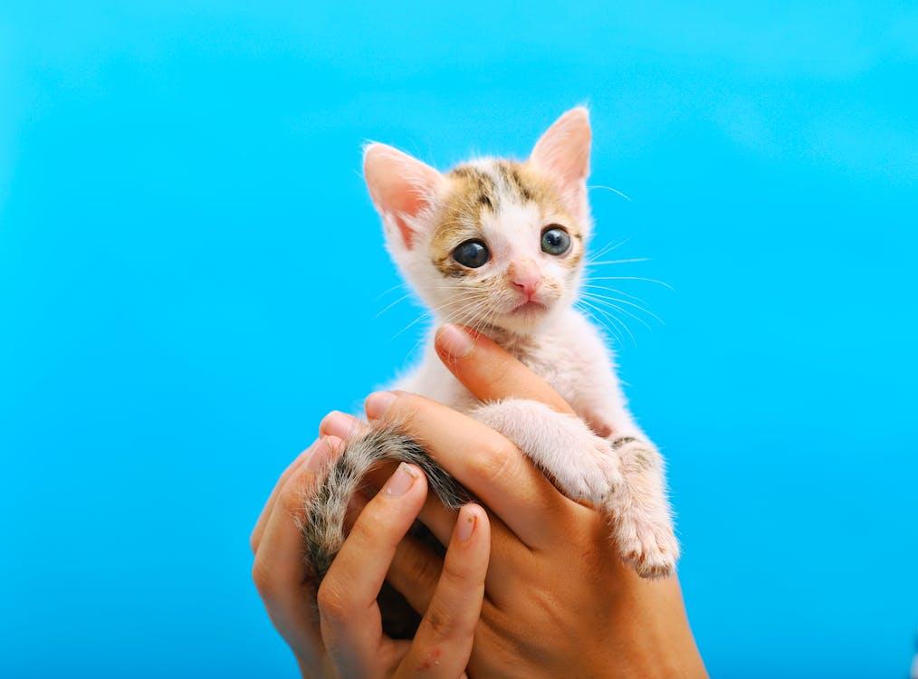 husdjursporträtt, katt, kattansikte
