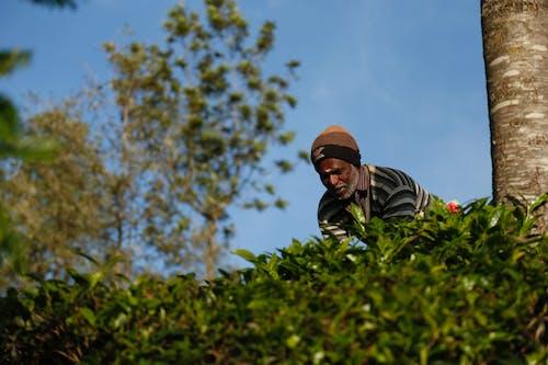 Fotobanka sbezplatnými fotkami na tému čajové plantáže, čajový majetok, juh, produkcia