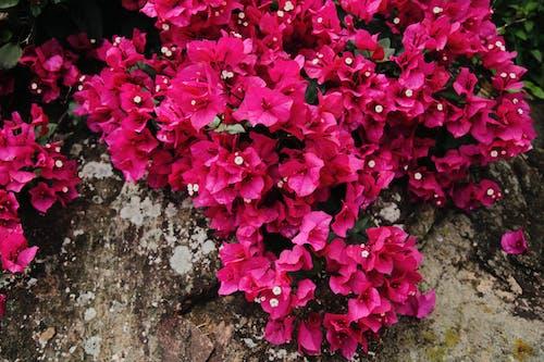 Fotobanka sbezplatnými fotkami na tému jasný, kvet ovocného stromu, kvety, ružová