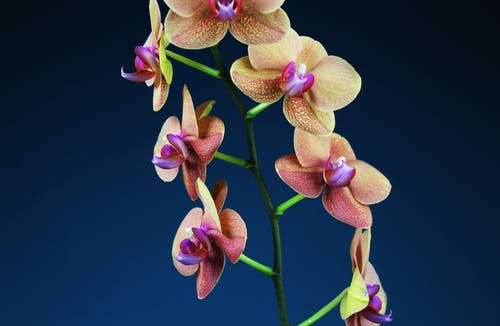 Brown Orchid Flower