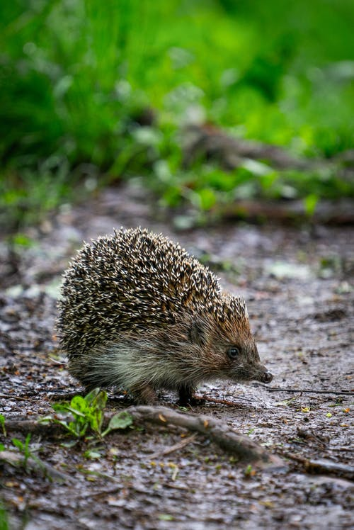 Standing Hedgehog