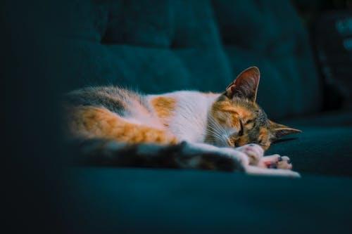 Δωρεάν στοκ φωτογραφιών με Γάτα, ζώο, κατοικίδιο, κοιμάμαι