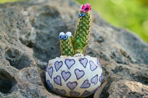 Immagine gratuita di arredamento, cactus, decorazione, impianto