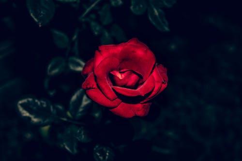 Free stock photo of beautiful flower, beauty in nature, dark background, dark red rose