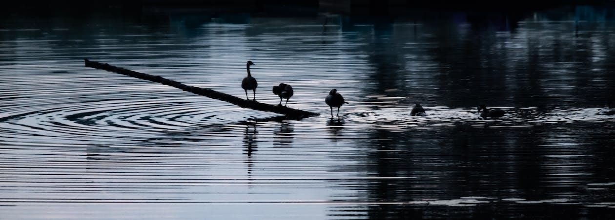 Swan on Wood Log