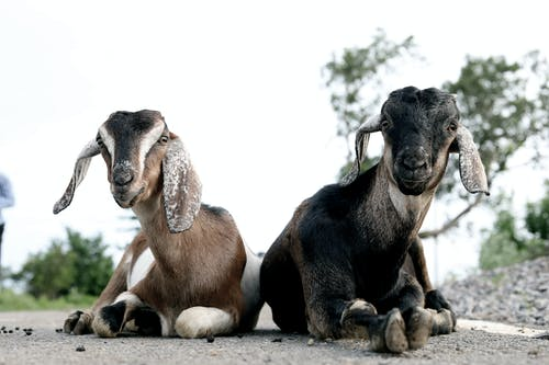 Two Brown and Black Goats