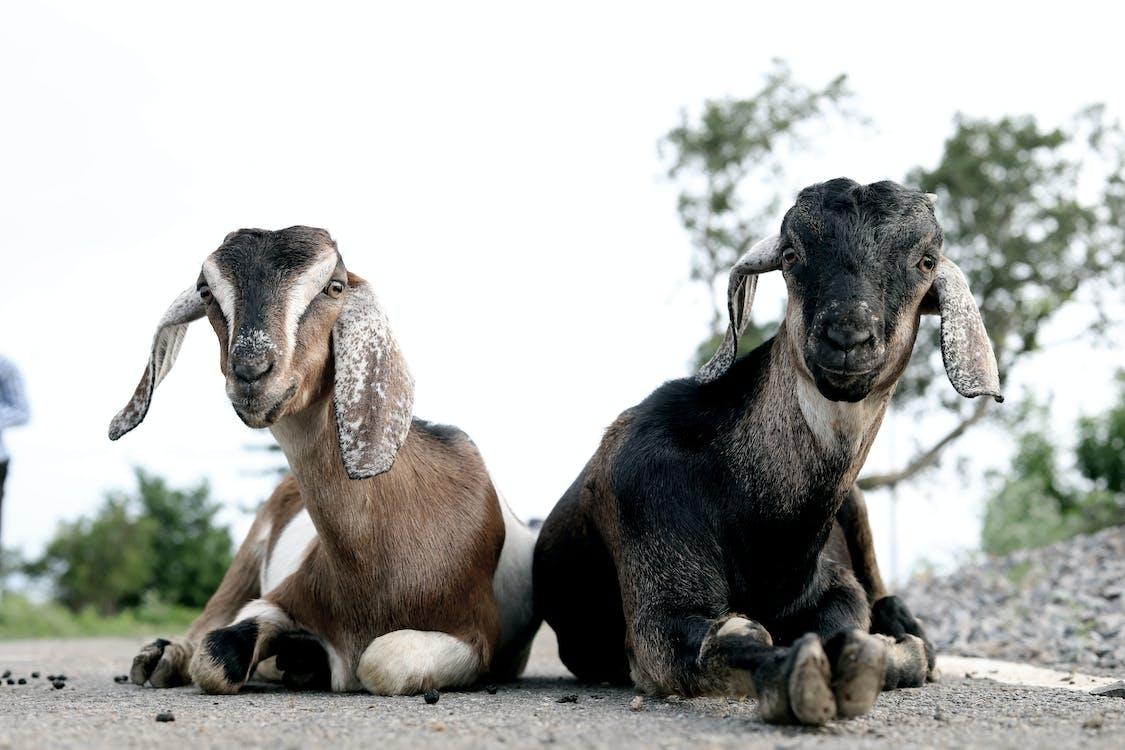 animals, animals domèstics, bestiar