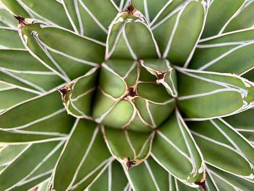 Gratis stockfoto met agave, aloë, bladeren, botanisch