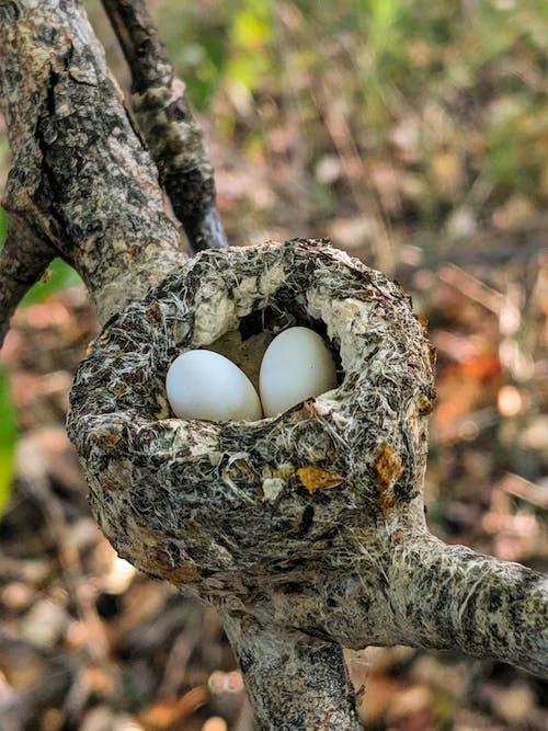 doğada güzellik, sinek kuşu yuvası, yumurtalar içeren Ücretsiz stok fotoğraf