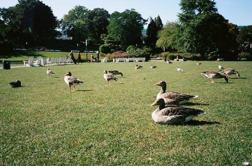 Základová fotografie zdarma na téma denní světlo, hřiště, husy, kachna divoká