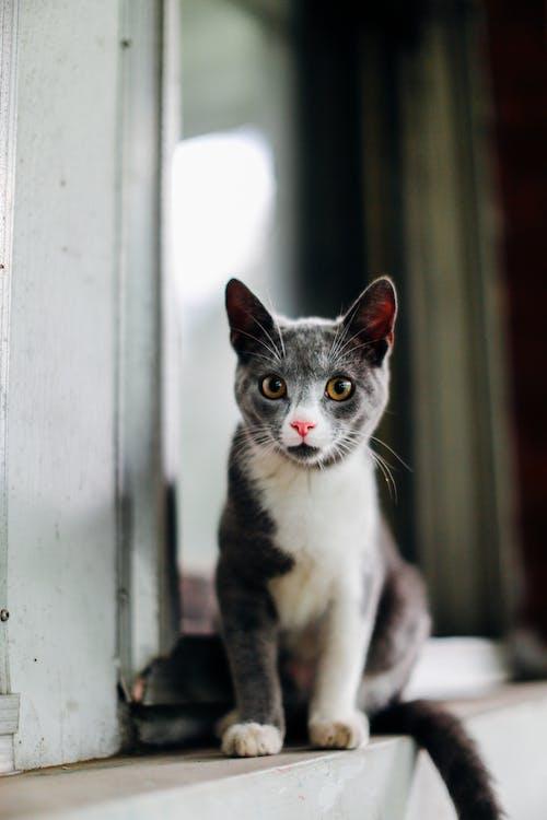 Безкоштовне стокове фото на тему «вуса, глибина різкості, домашній кіт, кішка»