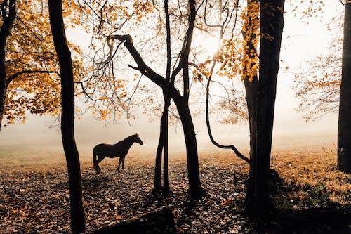 Fotobanka sbezplatnými fotkami na tému hmla, kôň, silueta, stromy