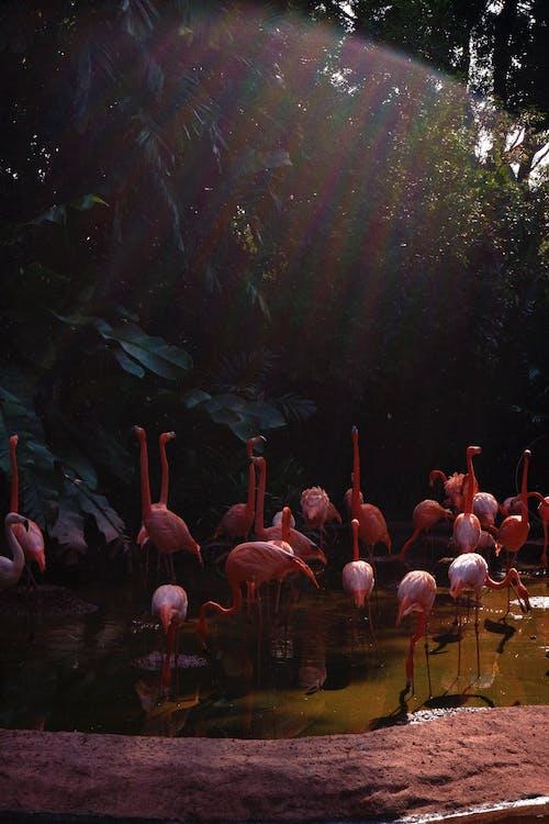 Kostenloses Stock Foto zu flamingoes, heiligenschein, herde, licht leck